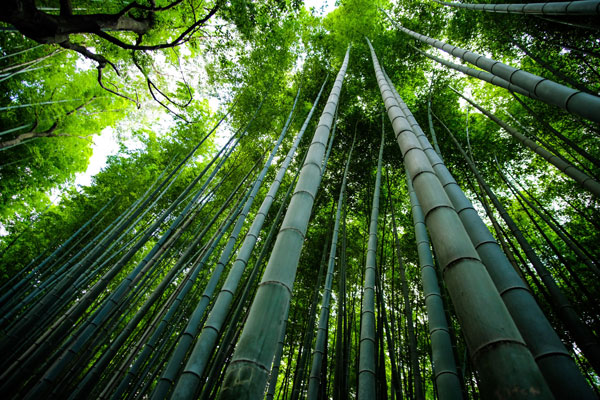 A bamboo tree forest showing the trees reaching to the sky
